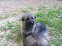 I have 6 German Shepherd young puppies available for