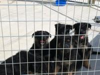 3 female dogs Sire is a black and red  canine Decimus