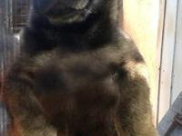 2 females and one male dark sable puppies father is an