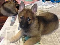 Beautiful AKC licensed German Shepherd new puppies