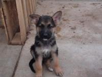 Hey I am marketing German Guard new puppies. I have two