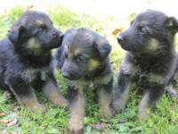 German Shepherd puppies AKC, black n tan, black n