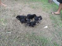 hi I have 5 perfect German Shepherd Dog puppy the will