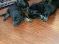I have 5 pure reproduced CKC registered German Shepherd