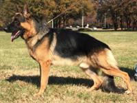 German Shepherd Puppies for sale. Mother is on site and
