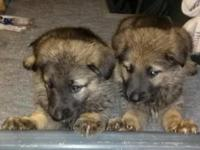 We have 4 complete blooded female German Shepherd