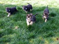 Black and Tan puppies. 2 females. Very spirited and