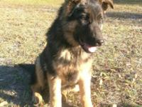 I have a 4 month old male blk/tan German Shepherd young