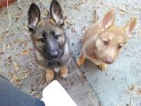 We have two beautiful purebred German Shepherd puppies