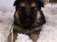 Stunning German Shepherds, AKC Registered. Purebred. 2