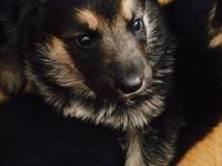 We have 4 male and 2 female German Shepherd puppies.