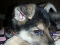 Pure breed large bone German shepherd puppies only one