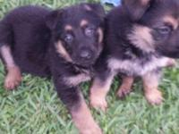 CKC registered German Shepherd puppies. Black & tan,
