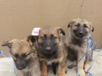 German Shepherd pure breed puppies need to go only to