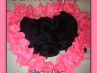 I have 6 female gsd available. they are pet only and