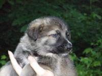 I have a litter of German Shepherd Puppies (Born April