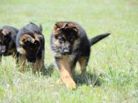 Import/champion lines We have 1 female/1 male puppies