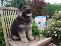 Chauvin Shepherds is excited to announce a litter of