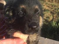 German Shepherd puppies. German line. 3 left - 2 female