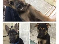 German Shepherd Puppies 10 Wks Has All Shots &