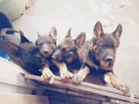 We have 3 available puppies born April 9. They come