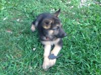 I have 7 German shepherd puppies for sale , I have 3