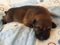 Beautiful Bi-color black and tan and Sable female and