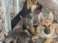 3 German Shepherd pups for sale very alert, friendly