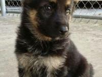 GERMAN SHEPHERD PUPPIES, AKC PAPERS AND ALL SHOTS UP TO