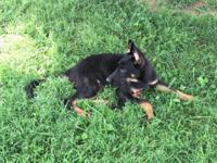 AKC German Shepherd Puppies Born May 12,2015 Male &