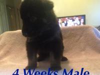 AKC German Shepherd Pups 5 males 6 females They come