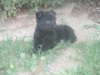 German Shepherd puppies! $550 4 females Pure black and