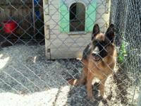 Three male German Shepard puppies, ckc registered, they