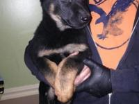 German Shepherd Puppies I have three 11 week old