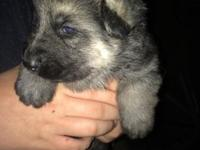 I have four german shepherd puppies for sale, mom is