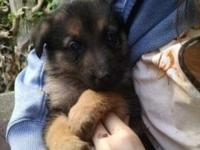 I have full blooded German Shepherd puppies for sale. 3