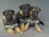 Gorgeous Red and Black, Tan and Black, AKC Purebred