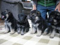 We have a litter of German Shepherd puppies only 2