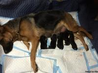 . WORKING LINES-German Shepherd Puppies. Papa is