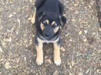 German Shepherd Puppies. ONLY 3 FEMALES LEFT!! This was