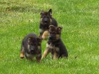 Animal Type: Dogs Breed: German Shepherd Akc male and