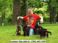 Animal Type: German Shepherd German shepherd puppies