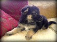 Numerous German Guard young puppies available for