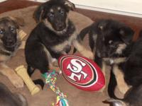 For Sale female and male pups. Mom is a Sable Shepherd