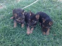 Purebred German Shepherd puppies for sale in Los Banos