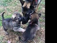 Registered, pure bred German Shepherd puppies for sale.