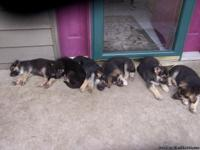 GERMAN SHEPHERD PUPPIES FOR SALE AKC FARM RAISED, HUMAN