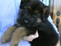 Farm Raised Reg. German Shepherd puppies for sale.