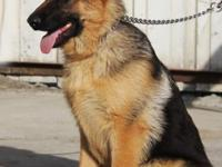 Six months aged AKC Registered German Guard. With