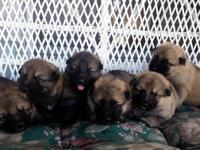 Six CKC German Shepherd Puppies. Full blooded. Sire is